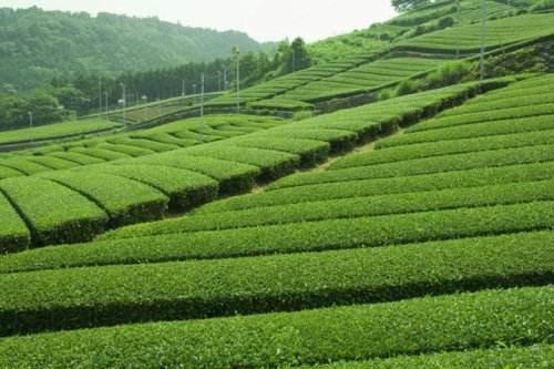 Lịch sử và phong cách uống trà của người Trung