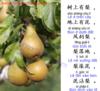 """Học tiếng Trung qua """"bài ca Quả lê"""""""
