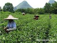 Văn hóa trà Trung Quốc