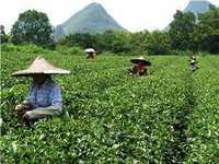 Các loại trà Trung Quốc
